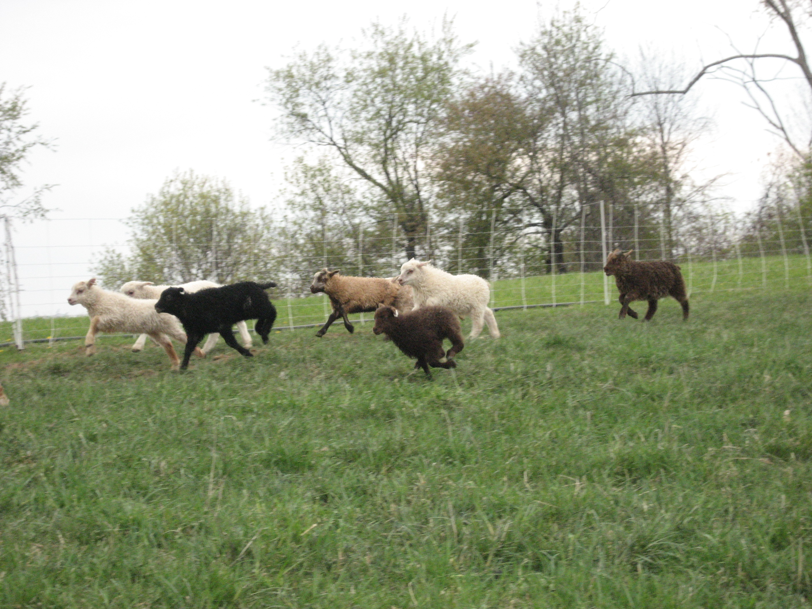 runninglambs.jpg